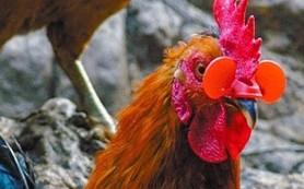 Kacamata Khusus Ayam Sabung Online China