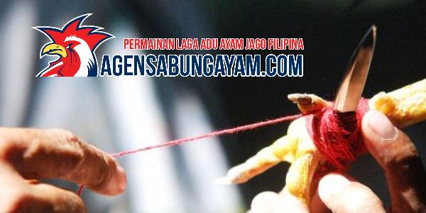 Sabung-Taji-Filipina-Sabung-Ayam-Aduan-Favorit