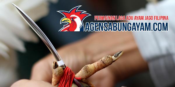 Sabung-Taji-Filipina-Sabung-Ayam-Aduan-Favorit-di-Indonesia