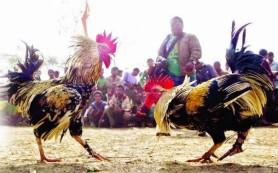 Situs Sabung Ayam Online Terpercaya Indonesia