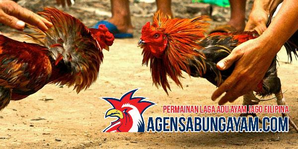 Sabung Ayam Kolombia Bagi Penggemar Adu Ayam