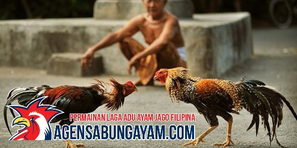 register-sabung-ayam-di-belize