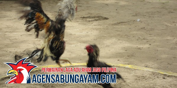 judi-sabung-ayam-di-indonesia