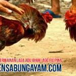 Taruhan Sabung Ayam di Kiribati