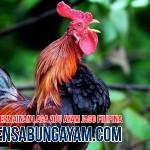 Agen Adu Ayam Online di Lesotho