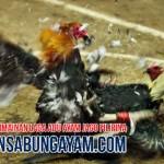 Agen Sabung Ayam Terpercaya di Mozambik