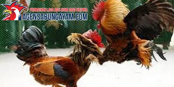 CF88 Sabung Ayam di Malaysia