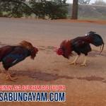 Bandar Judi Sabung Ayam di Palau