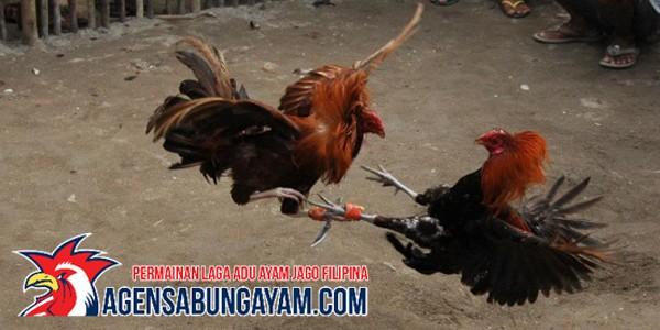 Games Sabung Ayam di Panama