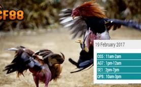 Jadwal Update Sabung Ayam CF88KR 19 Februari 2017
