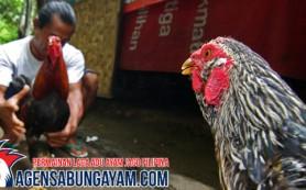 Judi Sabung Ayam di Nikaragua