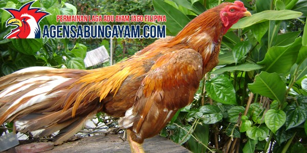 Sabung Ayam Live di Oman