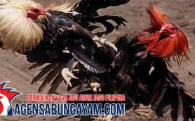 Sambung Ayam di Peru