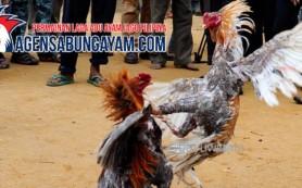 Video Sabung Ayam di Papua Nugini