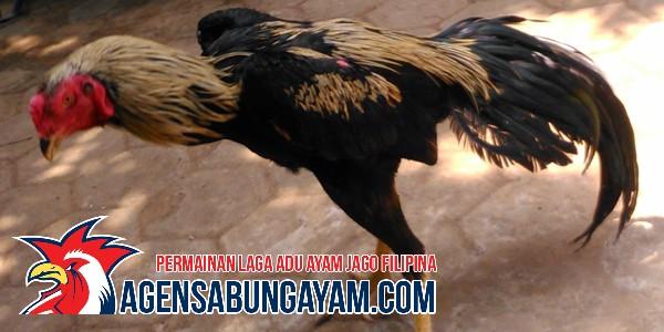 Agen S1288 Sabung Ayam Slovenia