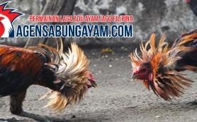 Agen Sabung Ayam S128 Somalia
