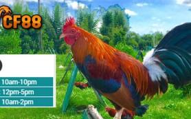 Jadwal-Daftar-Sabung-Ayam-CF88CN-24-Maret-2017