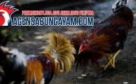 S128 Sabung Ayam Spanyol