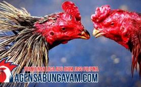S12888 Sabung Ayam Sudan