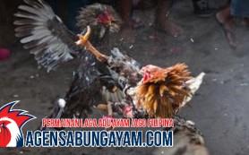Sambung Ayam Afganistan