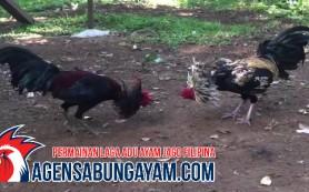 Agen Sambung Ayam Afrika Selatan