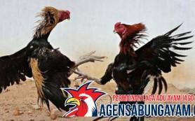 Bandar Sabung Ayam Gabon