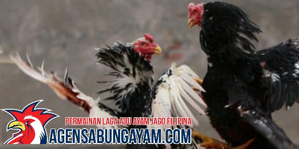 Bandar Sabung Ayam Live Ethiopia