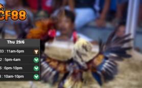 Jadwal-Adu-Ayam-CF88TH-29-Juni-2017