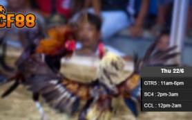 Jadwal-Sabung-Ayam-Update-CF88SG-22-Juni-2017