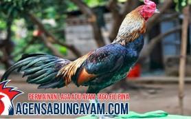 Judi Adu Ayam Fiji