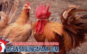 Sabung Ayam Live Ghana