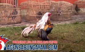 Sabung Ayam Online Georgia