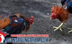 Sabung Ayam Terbaik Grenada