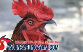 Video Sabung Ayam Guinea Khatulistiwa