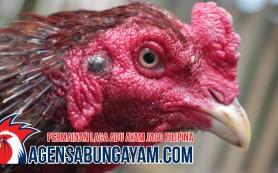 Agen Judi Sabung Ayam Mauritius