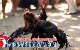 Agen Sabung Ayam Terpercaya Mali