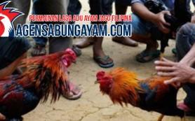 Bandar Sabung Ayam Live Maroko
