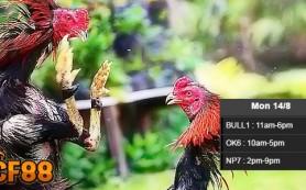 Jadwal-Live-Sabung-Ayam-CF88ID-14-Agustus-2017