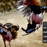 Jadwal Sabung Ayam Update CF88SG 20 Agustus 2017