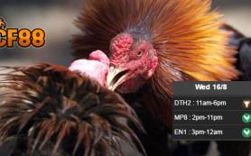 Jadwal-Taruhan-Sabung-Ayam-CF88TH-16-Agustus-2017