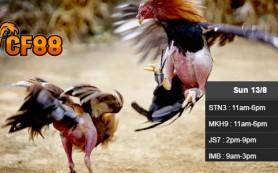 Jadwal-Update-Sabung-Ayam-CF88KR-13-Agustus-2017
