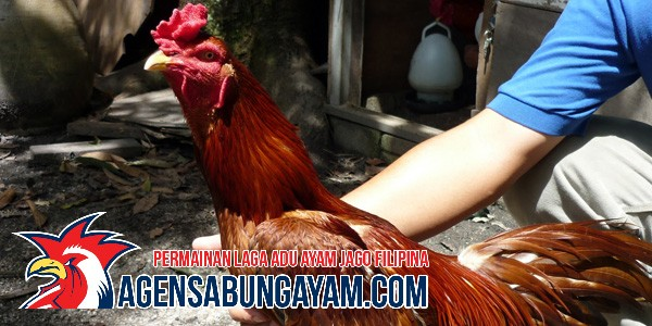 Sabung Ayam CF88 Malawi