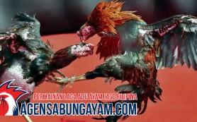 Daftar Sabung Ayam Panama