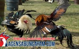 Main Sabung Ayam Papua Nugini
