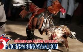 Register Sabung Ayam Pantai Gading