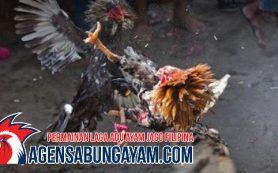CF88VN Sabung Ayam Sierra Leone