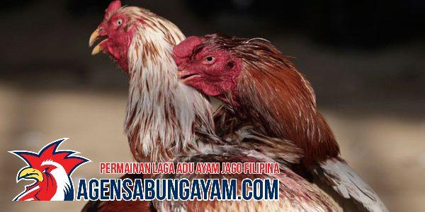S128 Sabung Ayam San Marino