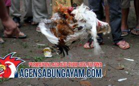 S1288 Sabung Ayam Sao Tome and Principe