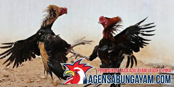 Agen Cockfight Zimbabwe