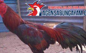 Agen Sambung Ayam Ukraina